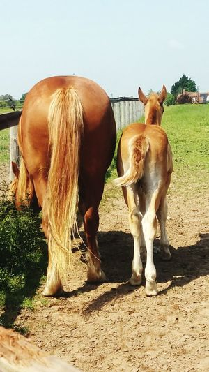 Animal Horses Horse Photography  Foals Foal And Mare Rear View Suffolk Punch Suffolk Punch Trust Animal Themes Ponytail Dock Field Mammal