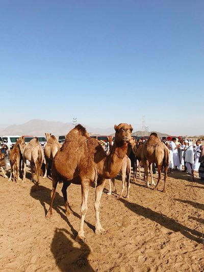 Camel in action Brown Shadow Desert Livestock Domestic Animals Animal Themes Mammal Clear Sky Nature Large Group Of Animals Day