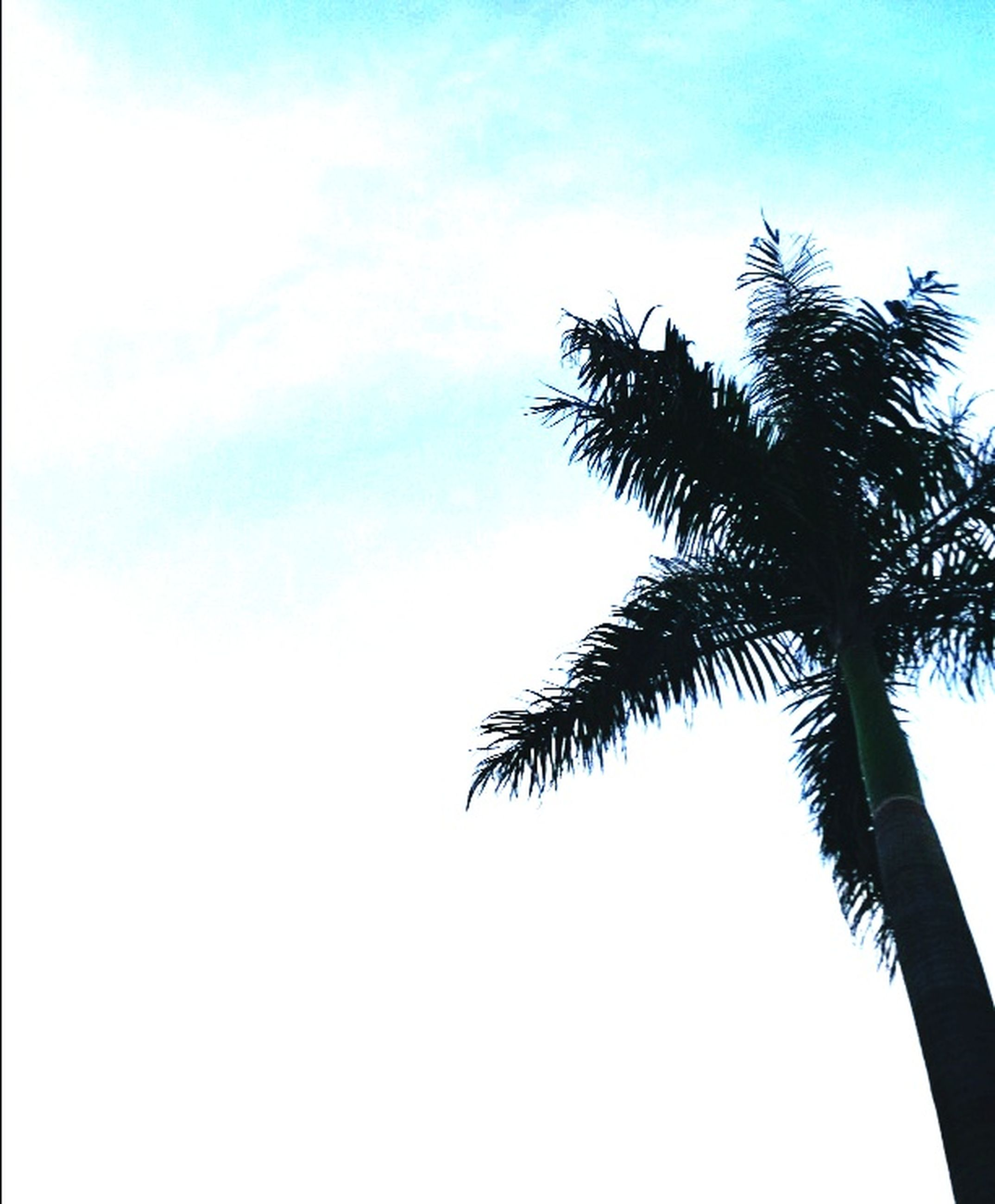 palm tree, tree, low angle view, tree trunk, nature, sky, beauty in nature, no people, growth, silhouette, day, outdoors, scenics, branch