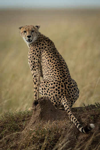 Portrait of cheetah sitting on rock formation