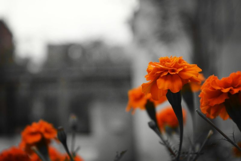 Vibrance at it's best Flower Orange Color Focus On Foreground Flower Head Petal Fragility Growth Freshness Plant Beauty In Nature No People Outdoors Day Close-up Nature Macro Flowers Color Splash Vibrant Colors Vibrance Travel Photography Step It Up EyeEmNewHere Shades Of Winter