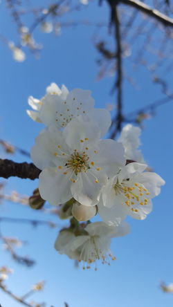 Nature Flower Growth Branch Beauty In Nature Almond Tree Tree Flower Head Springtime Blossom Fragility No People Petal Freshness Close-up Plant Pollen Plum Blossom Day Cherrytree Cherry Blossoms Cherries🍒 Outdoors