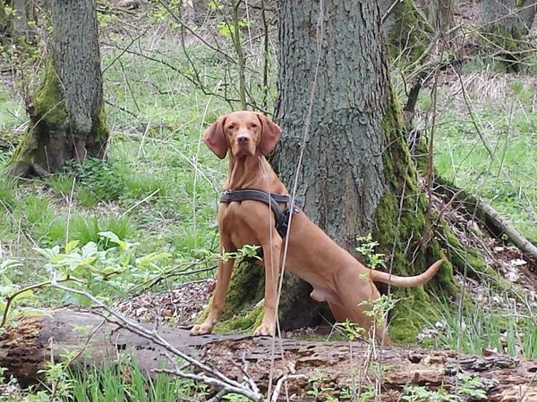 Domestic Animals Animal Themes Taking Photos Ijuma Von Terra Lebusana Vizslalove Hungarian Vizsla Vizslaoftheday Hungarianvizsla Magyar Vizsla Hunting Dog In The Forest In The Woods Bestnatureshot