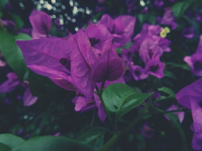 Haunted. Flower Pink Color Purple Petal Plant No People Fragility Close-up Nature Flower Head Outdoors Day Growth Beauty In Nature Leaf Freshness Petunia