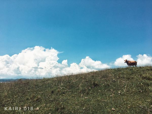 Lost In The Landscape Cow Meets Sky Alone In Paradise Beauty In Nature Travel Ph Photography Is Life♥