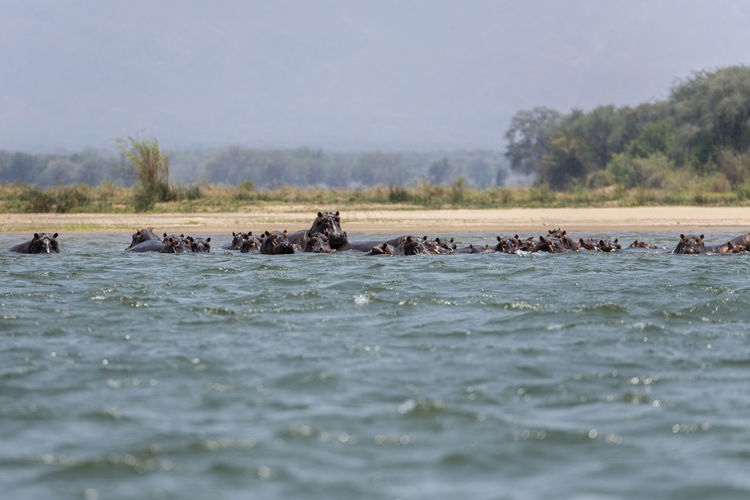 View of hippos in the water