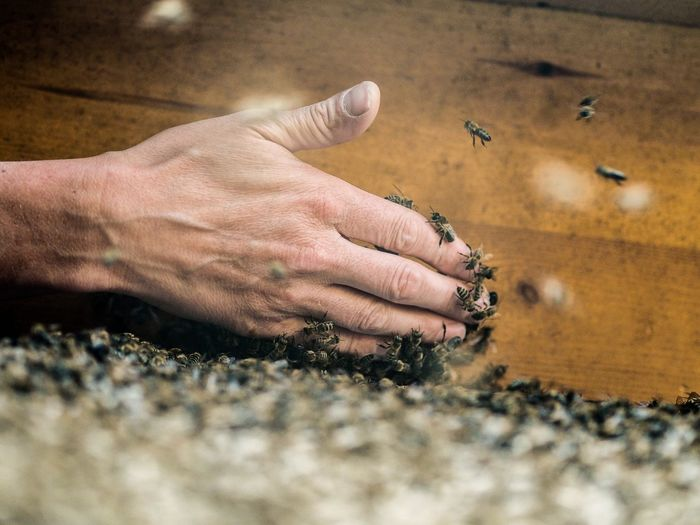 Close-up of beekeeper hand with bees holding beehive