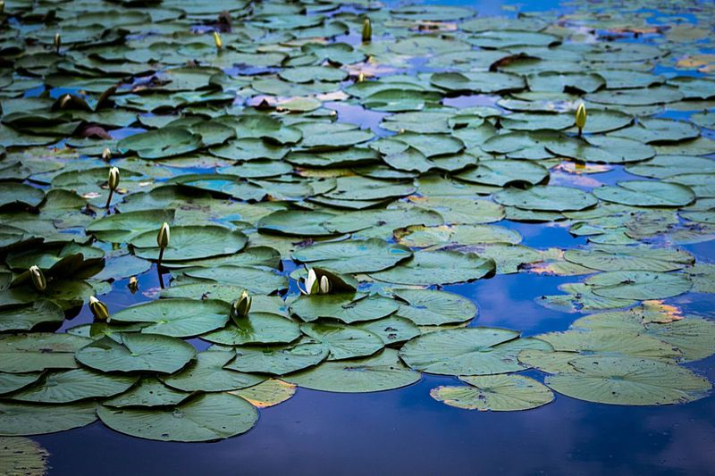 Leaf Plant Part Beauty In Nature Full Frame Day Growth High Angle View Nature No People Green Color Plant Backgrounds Blue Water Outdoors Leaves Abundance Close-up Floating On Water