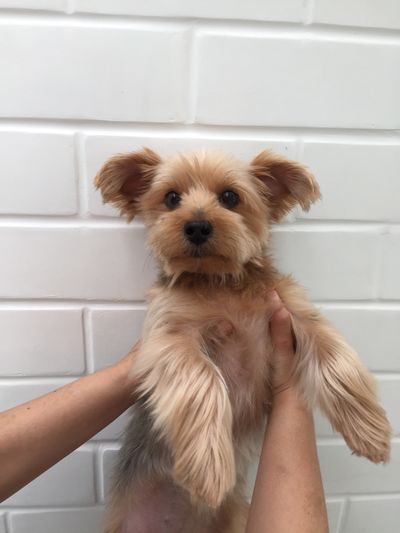 Cute little dog (yorkshire terrier) is looking on you. Adorable Holding Looking Little Cute Animal Dog Pet Yorkshire Terrier