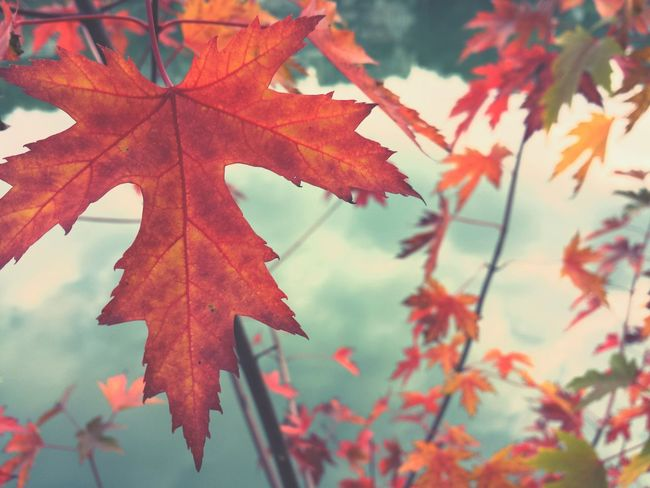 Autumn Leaf Maple Leaf Close-up Maple Red Outdoors Beauty In Nature Tree Focus On Foreground Maple Tree Branch Day No People Leaves Nature