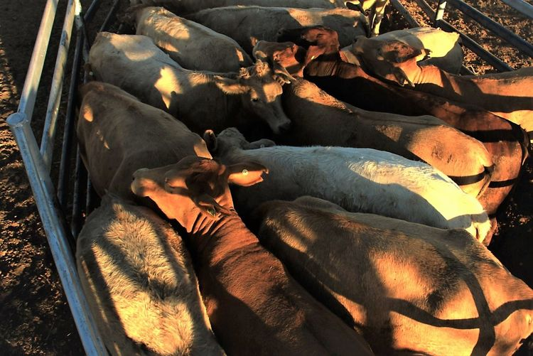 High Angle View Of Cows In Pen