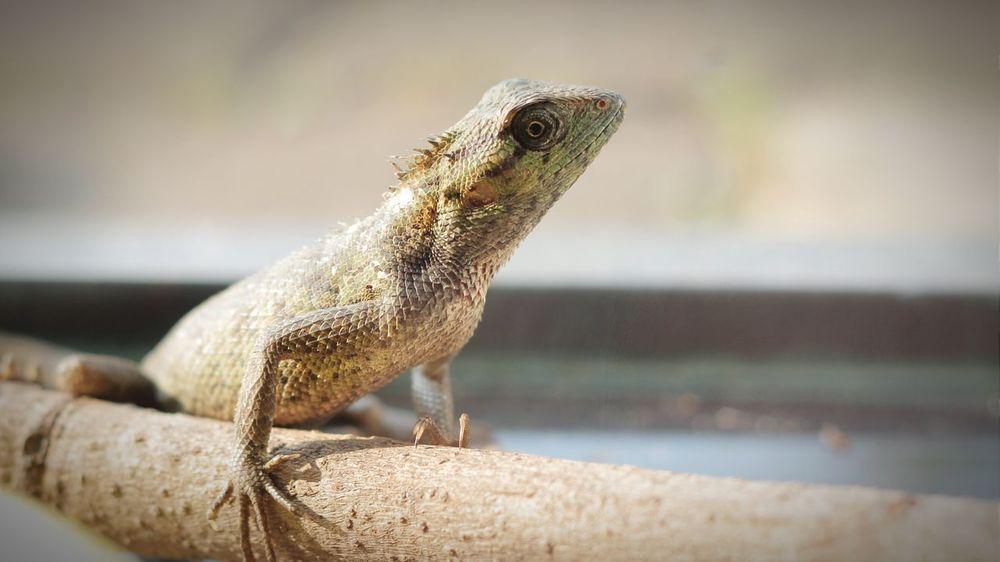 Green Chameleon Bunglon Kadal Reptiles Reptileindonesia Reptilelove EyePet Picoftheday Morningcapture Sunshine
