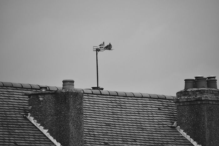 Chimney Blackandwhite Black & White EyeEm Gallery Black And White Rooftop Roof Pigeons London Birds Bird Photography Pmg_lon