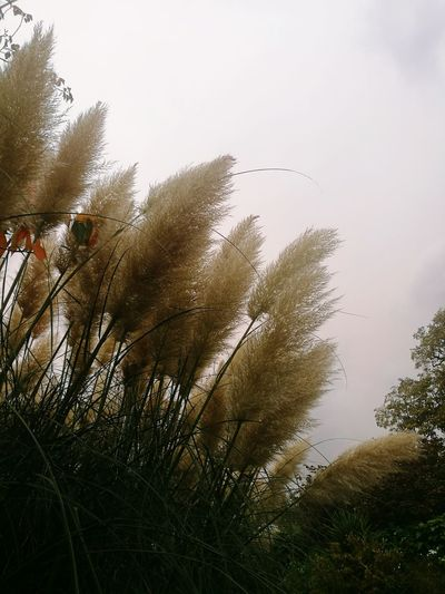 Pampas Grass In The Breeze Beauty In Nature Outdoors Nature No People Grass Sky Freshness Day Growth Parks And Recreation