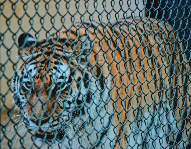Cage don't matter! You still have the voice ! Tiger Cage Wildlife & Nature Zoology Wild No People Fence Security Protection Safety Barrier Chainlink Fence Boundary Pattern Backgrounds Day Metal Close-up Full Frame Outdoors Animal Animal Themes Textured  Nature Animal Wildlife