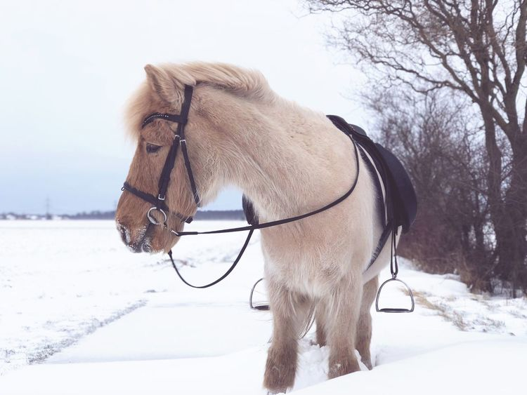 This is my horse- my horse is amazing 😅🙈 Taken By Phone Shotwithmyiphone Winter Backontrack Icelantic Horse Islandpferd  Winter Snow Cold Temperature Mammal Domestic Animals Animal Animal Themes Nature Field Land No People Horse