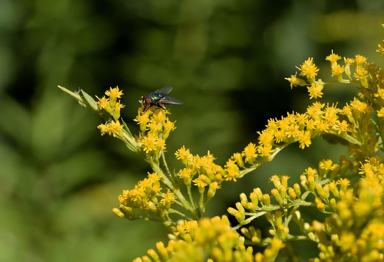Fly Nikon Animal Animal Themes Animal Wildlife Animals In The Wild Beauty In Nature Close-up Flower Flower Head Flowering Plant Fragility Freshness Growth Hovering Insect Invertebrate No People One Animal Outdoors Petal Plant Pollination Vulnerability  Yellow EyeEmNewHere