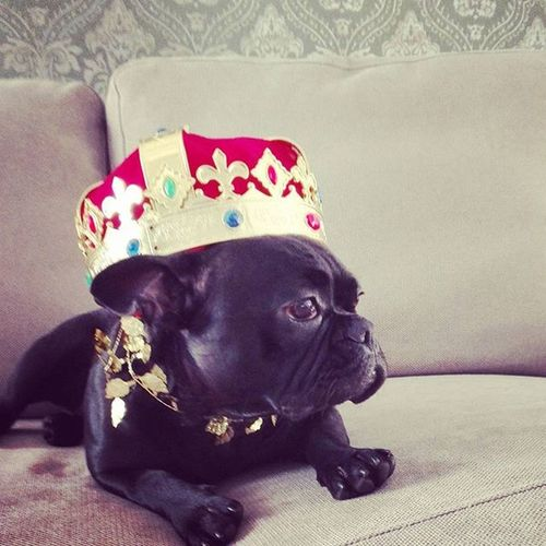 I know how to wear a crown! Happy Birthday to Maya!!! Crown Maya Frenchbulldog Fab_frenchies Frenchie Royal Dog Princess Froggy Love Instamood Instapic Like4like
