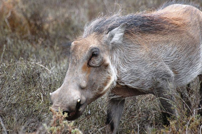 Animals In The Wild Close-up Day Grass Mammal No People One Animal Outdoors Warthog