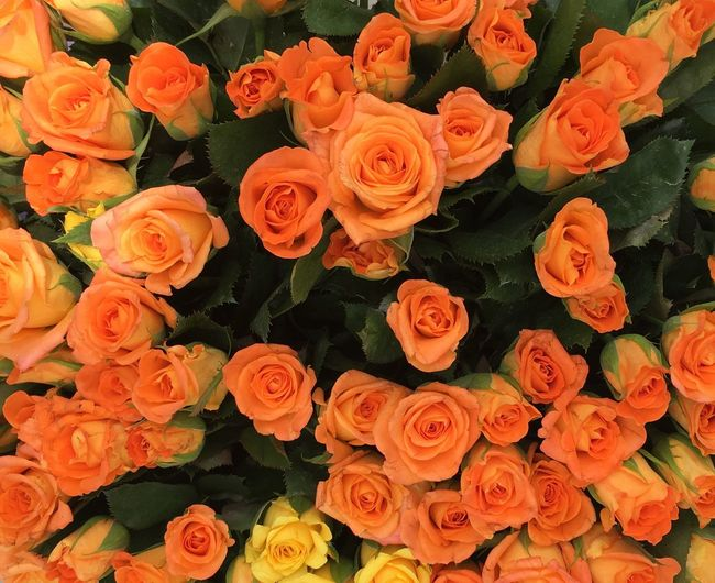 Gul Roses Flowers Fresh Cut Beauty Eye4photography  EyeEm Best Shots Getting Inspired Close-up çiçek Bahar Guller Guzellik Izmir