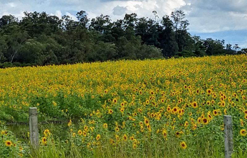Scenic view of flowering field against yellow flowers