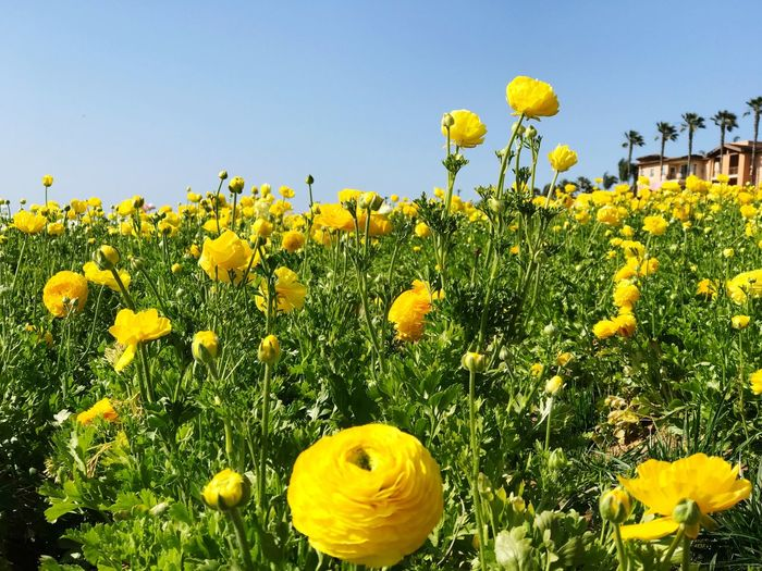 Yellow Growth Nature Beauty In Nature Flower Freshness Field