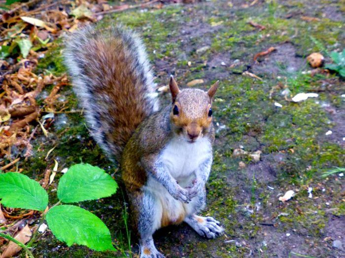 Squirrel Nature Park Parks Squirrels Squirrel Closeup Squirrel! Curious Squirrel Grey Squirrel