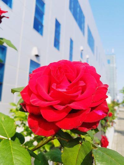 full bloom Red