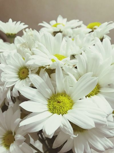 Chamomilla Flower Petal Nature Growth Fragility Flower Head Beauty In Nature White Color Freshness No People Plant Blooming Close-up Day