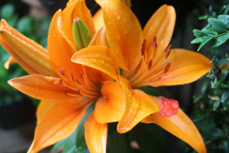 Beauty In Nature Blooming Blossom Botany Close-up Day Flower Flower Head Focus On Foreground Fragility Freshness Growth In Bloom Lily Nature No People Orange Color Outdoors Petal Plant Pollen Selective Focus Stamen Taking Photos Yellow