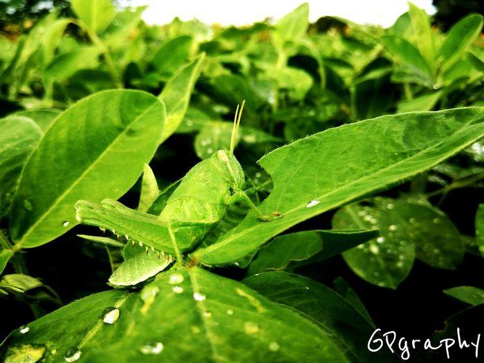 Im here!!! Grasshopper Green