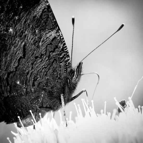 Beauty In Nature Black & White Black And White Photography Butterfly Close-up Entomology Insect Insect Photography Insects  Lepidoptera Nature Nature On Your Doorstep Nature's Diversities
