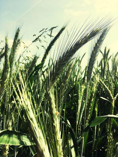 Food Bread Weizen Fields Of Gold Field
