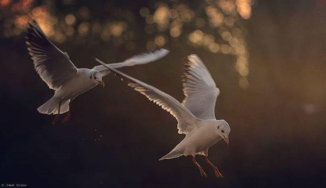 First time venturing in St James Park. Was a beautiful winter day. Seagull Seagulls Gull Gulls Nature Birds Bird Sunset Photography Photooftheday Canonuk Canon Canonphotography Canon7dMK2 Canonlens Canonlenses 70200mm Canon70200 Winter Stjamespark Stjames Showcase: November