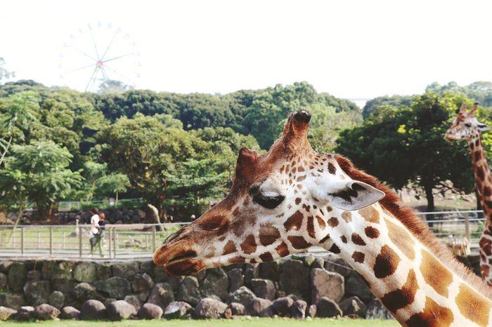 Giraffe Giraffe Giraffe Head Zoo Zoo Animals  Giraffe Portrait EyeEm Selects Tree Leopard Sky Animal Markings Giraffe Animal Neck Zoo Animals In Captivity Animal Antenna EyeEmNewHere