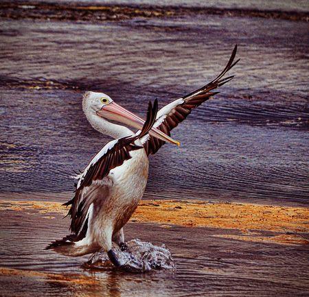 Australia Portstephens Bird Pelican Stopping Time Spread Wings Animals In The Wild Animal Wildlife Animal Themes Bird Of Prey No People Outdoors Water EyeEmNewHere
