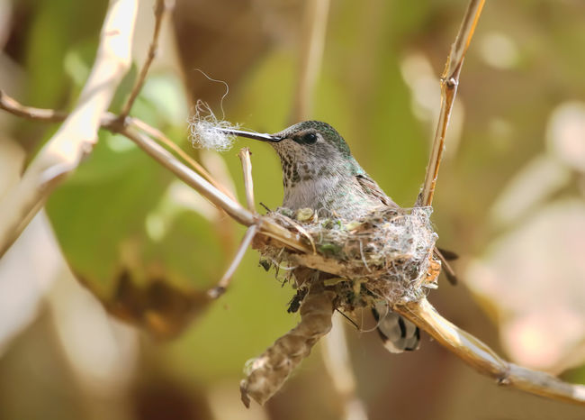 The nest is almost done-Anna's hummingbird Anna's Hummingbird Calypte Calypte Anna Mother Nest Building...... Nesting Silhouette Animal Themes Animal Wildlife Animals In The Wild Bird Calyptratus Close-up Day Mother To Be Nature Nest Building Nestingseason No People One Animal Outdoors