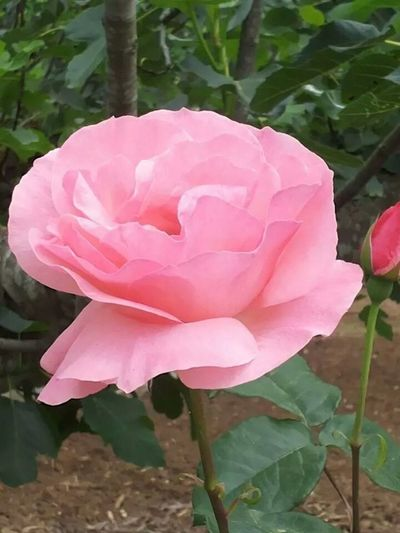 Flowers Nature Roses Pink Rose