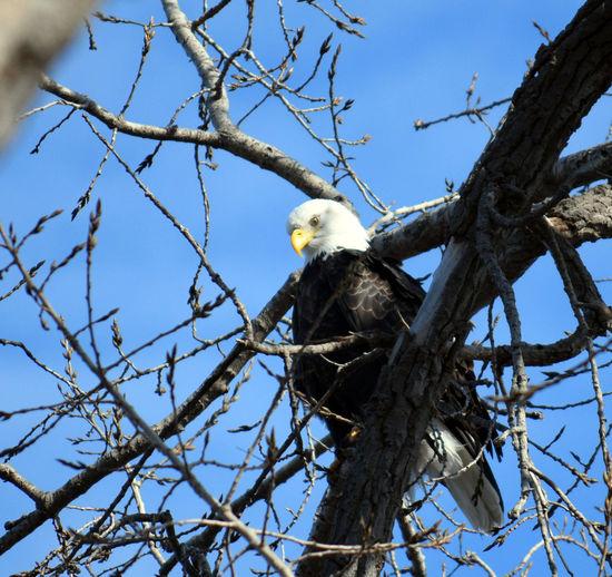 Eagle eye perched above the Mississippi River Bald Eagle