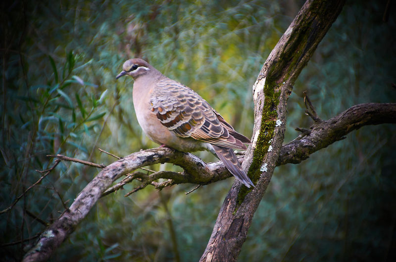 Affinity Photo Australian Birds Australian Wildlife Beauty In Nature Bird Photography Branch Capture One Pro Close-up Day Focus On Foreground Growth Melbourne Nature Nikon D5100  Nikonphotography No People Outdoors Selective Focus Tranquility Tree Tree Trunk Twig Wildlife Wildlife Photography Wood Pigeon