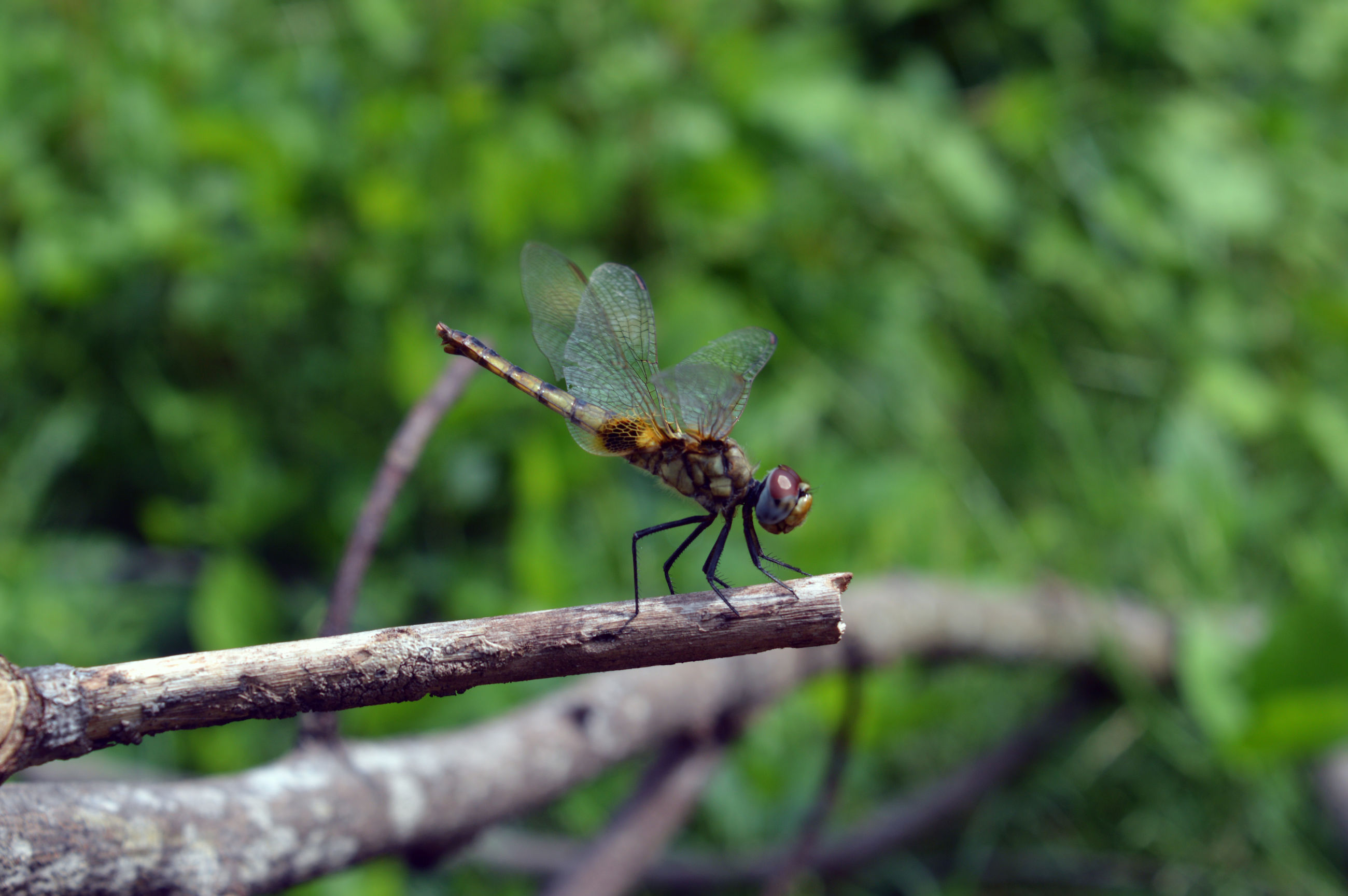 wildlife, animal themes, animals in the wild, one animal, insect, dragonfly, focus on foreground, perching, full length, zoology, twig, close-up, nature, animal wing, invertebrate, green color, outdoors, day, no people, winged