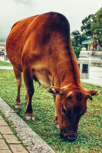 bon appétit baby Eating Hong Kong Lantau Island Standing Grazing Grass Close-up Livestock Cow