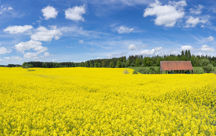Large blooming rapeseed field at an open barn near a forest edge Agriculture Barn Farmland Field Nature Rapeseed Field Rural Bloom Blooming Blossom Blossoming  Canola Canola Field Countryside Cultivated Farming Forest Forest Edge Landscape Rapeseed Scenery Season  Spring Springtime Yellow