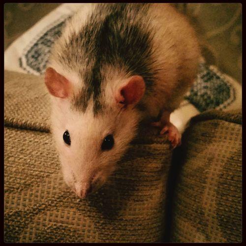 Sybil Rat Pets Animals