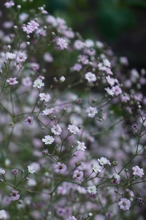 Baby's Breath Flower Delicate Pretty Gypsophila Pink And White Flower Wedding Baby's Breath Baby's Breath Beauty In Nature Close-up Flower Fragility Growth Gypsophila Elegans Nature Pink And White Wedding Flower