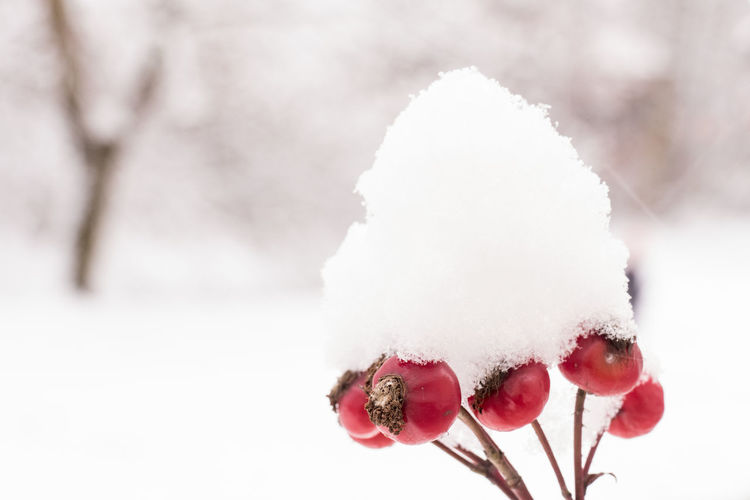 Rose hip fruits covered in fresh snow Beauty In Nature Berlin Branch Cold Temperature Covering Frozen Fruit Germany Nature No People Outdoors Red Rose Hip Season  Snow Weather Winter