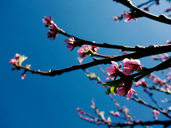Springtime is pure beauty in nature Springtime Blue Sky Beauty In Nature Peach Blossom Flower Tree Branch Clear Sky Springtime Blossom Close-up Sky Plant Twig Bud In Bloom Botany Petal Blooming New Life Pistil Flower Head Plant Life Stamen Cherry Tree Cherry Blossom Pollen