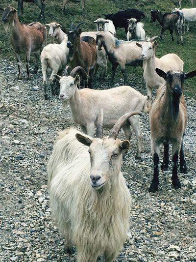 Mammal Cattle
