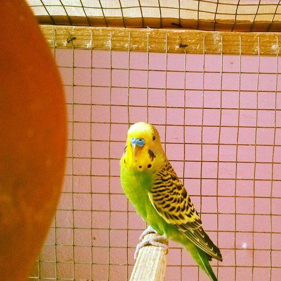 Mr.handsome strikes a pose MyLoveBirds Handsome Pets Birdsofinstagram Birdswatch Peta Love Friends Fridays Pondicherry Pucho