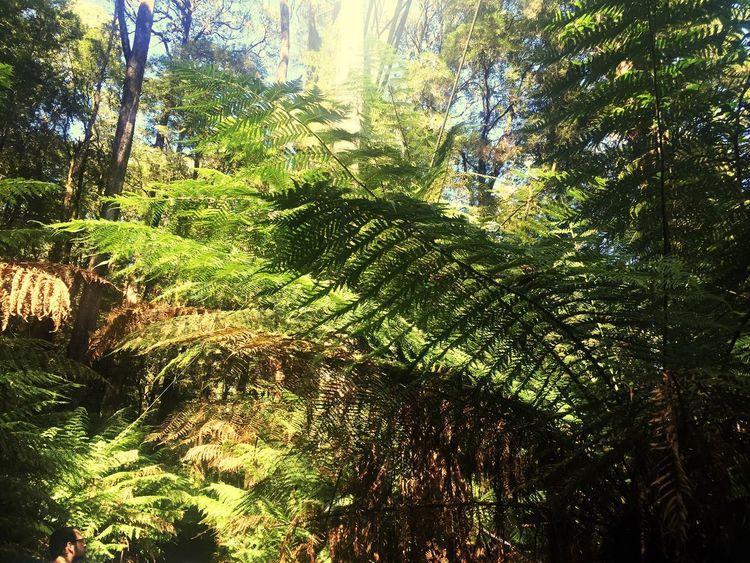 Kaltregenwald Regenwald Australien South Australia Australia Otway NP Otway